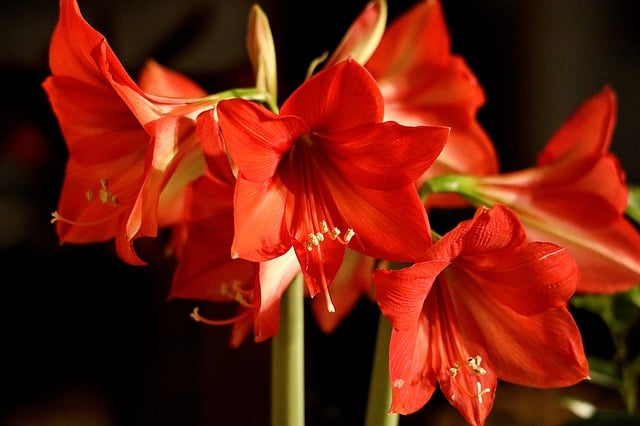 Red Amaryllis - how to grow