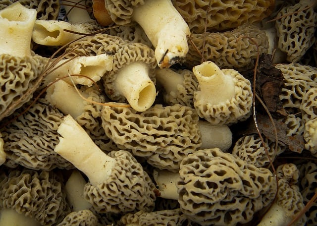 Morels showing hollow stems and caps attached to stem at base of caps