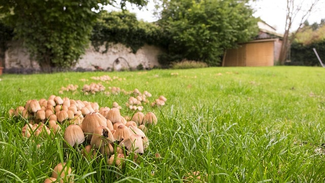 how to get rid of mushrooms on my lawn